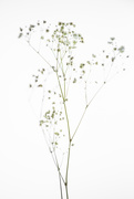 30th Jan 2021 - gypsophilia