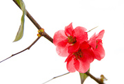 30th Jan 2021 - Flowering Quince