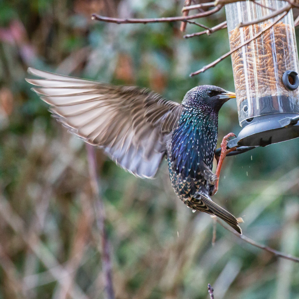 Starlings, starlings and more starlings! by pamknowler