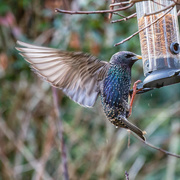 31st Jan 2021 - Starlings, starlings and more starlings!