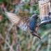 Starlings, starlings and more starlings! by pamknowler