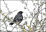 31st Jan 2021 - Hello Mr Blackbird