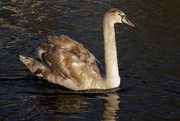 31st Jan 2021 - THE ORIGINAL UGLY DUCKLING