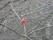 31st Jan 2021 - Cardinal on Branch
