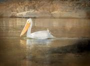 31st Jan 2021 - Cruising Pelican