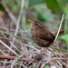 Pacific Wren on 365 Project