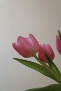 1st Feb 2021 - Early tulips