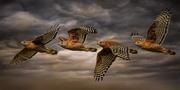 1st Feb 2021 - Red-shoulder Hawk Drama