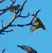 1st Feb 2021 - go-go-goldfinches!
