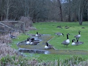 29th Jan 2021 - The geese (and moles), are back.