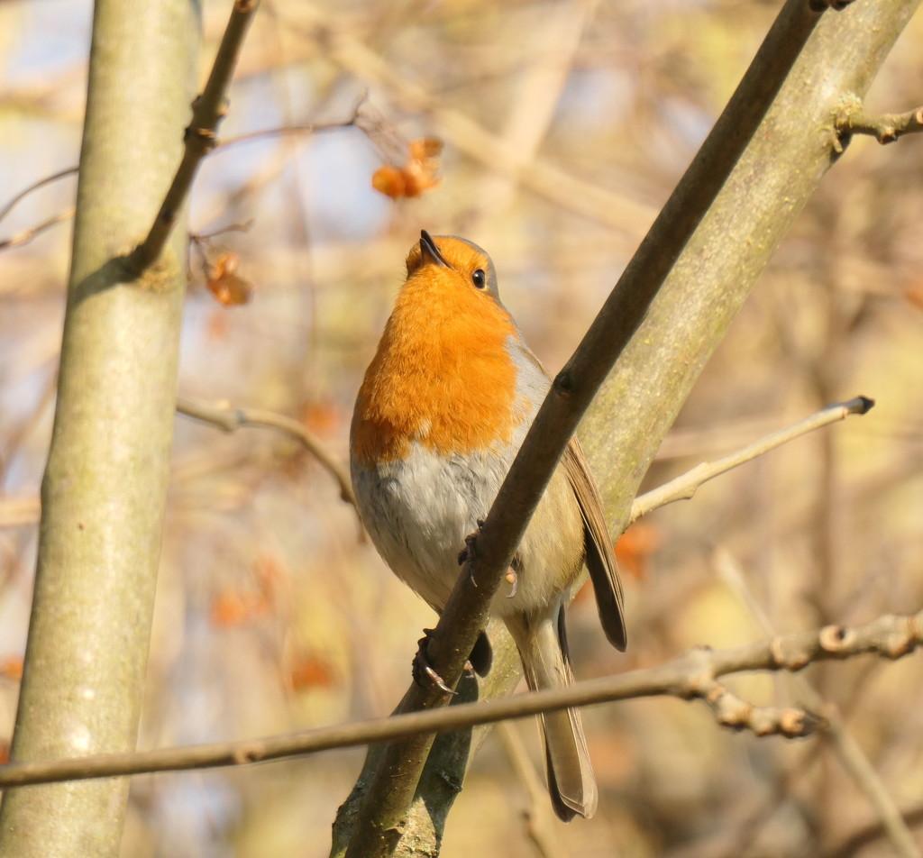 Robin by jesika2