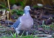 1st Feb 2021 - Pigeon