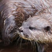 1st Feb 2021 - Otter