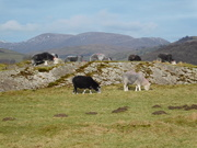 1st Feb 2021 - some sheep and a rock
