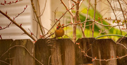 1st Feb 2021 - Lady Cardinal, Waiting Her Turn!