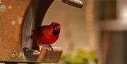 1st Feb 2021 - Mr Cardinal was Pigging Out!