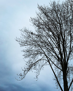 1st Feb 2021 - a crow and the bare tree