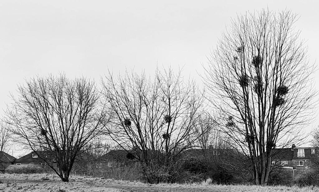 Mistletoe by serendypyty