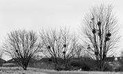2nd Feb 2021 - Mistletoe