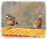 2nd Feb 2021 - Partridges