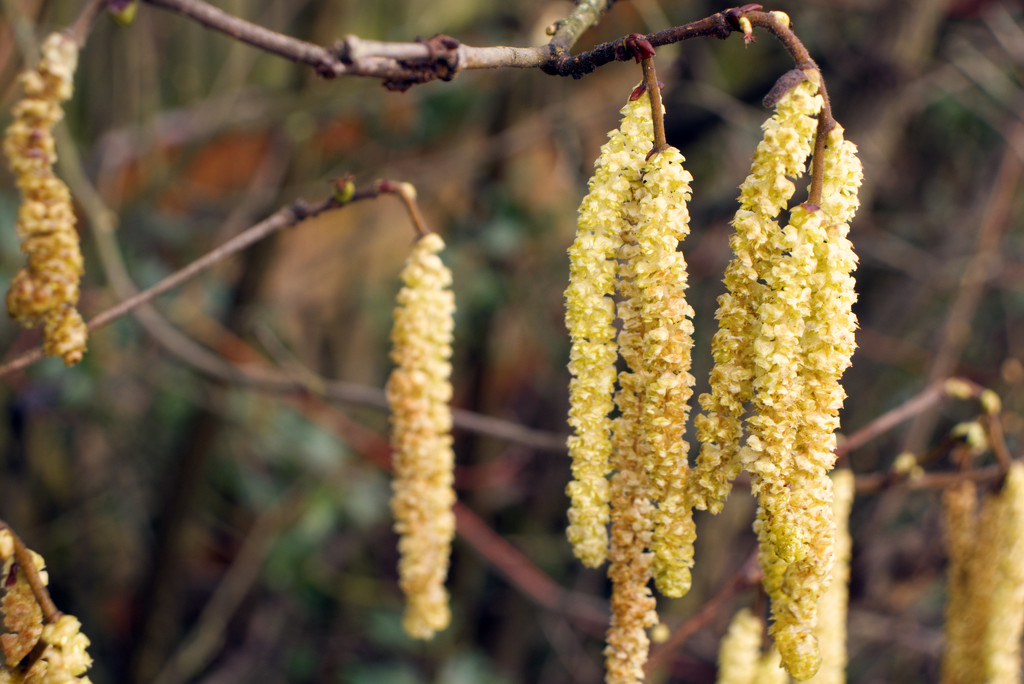 Catkins  by 365projectorglisa