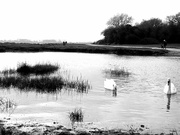 2nd Feb 2021 - Swans