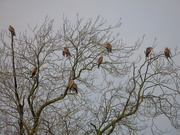 2nd Feb 2021 - A Kettle Of Red Kites