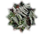 3rd Feb 2021 - frosty fern