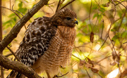 2nd Feb 2021 - Red Shouldered Hawk All Fluffed Up!