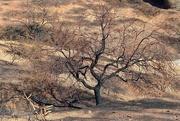 3rd Feb 2021 - portrait of a burned tree