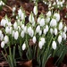 Clump of Snowdrops  by carole_sandford
