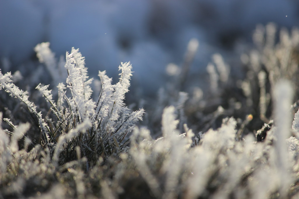 Frosted Grass by themusketeers