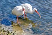 2nd Feb 2021 - White Ibis