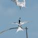 Tern Ballet by yorkshirekiwi