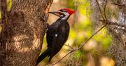 3rd Feb 2021 - Mr Pileated Woodpecker!