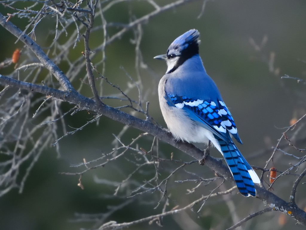 Blue jay in the Weaselhead Natural Area in Calgary.  by mjalkotzy