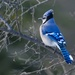 Blue jay in the Weaselhead Natural Area in Calgary.