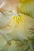 4th Feb 2021 - Gladioli flower