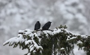 4th Feb 2021 - Jackdaws in the Snow