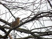 3rd Feb 2021 - Song Thrush