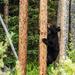 Baby Bear Climb