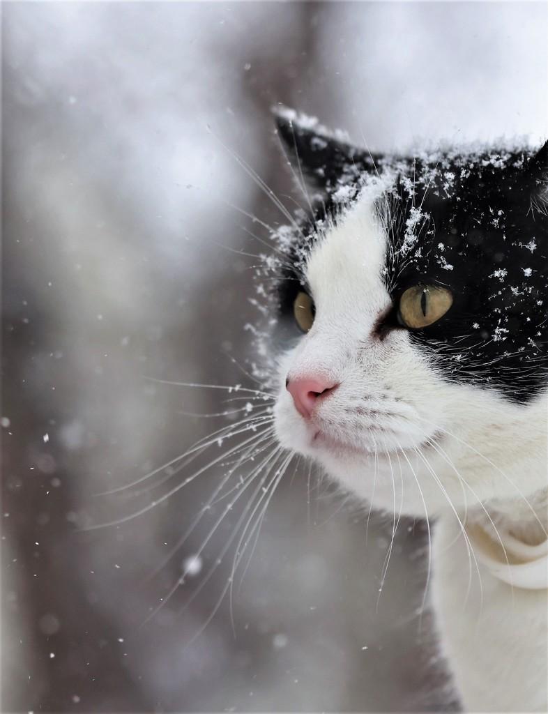 Snow Kitty by lynnz