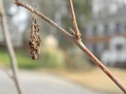 4th Feb 2021 - Dried Up Leaf on Tree
