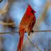 Papa Cardinal by cwbill