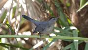4th Feb 2021 - Gray catbird