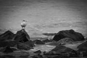 5th Feb 2021 - Seagull