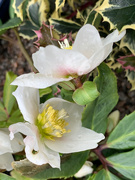 5th Feb 2021 - Christmas Rose and Holly