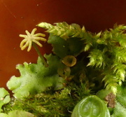 5th Feb 2021 - liverwort and moss.