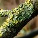 Lichen by mave