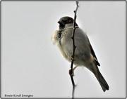 5th Feb 2021 - Sparrow